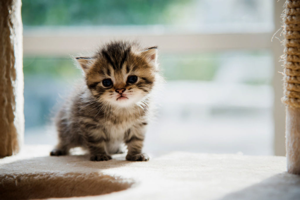 Learn how to use plt.imshow in matplotlib through working with this cute picture of a kitten